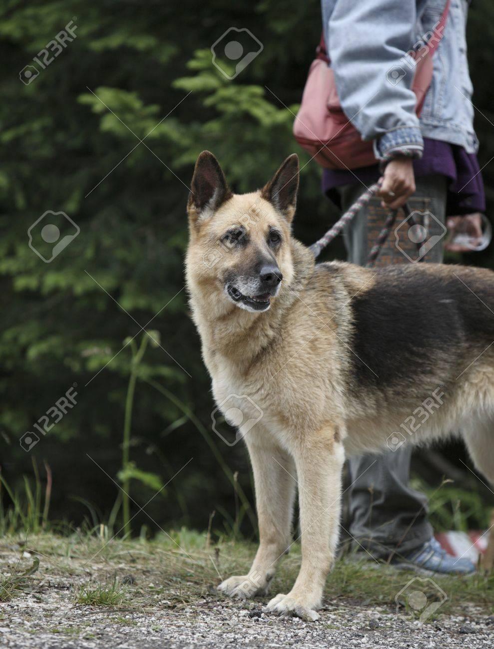 beautiful purebred german shepherd held on leash before training Stock Photo - 9906804