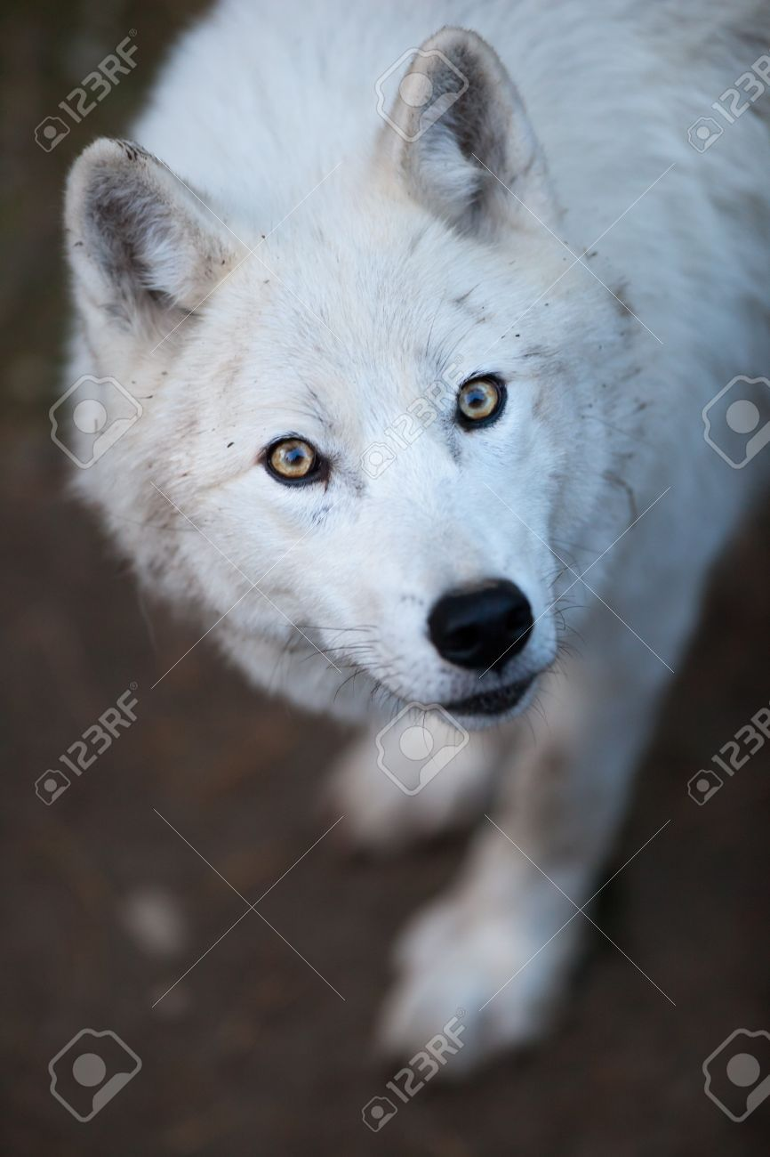 Arctic Wolf (Canis lupus arctos) aka Polar Wolf or White Wolf - Close-up portrait of this beautiful predator Stock Photo - 9935999
