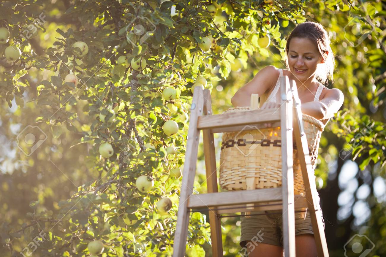 Young woman up on a ladder picking apples from an apple tree on a lovely sunny summer day Stock Photo - 10523734