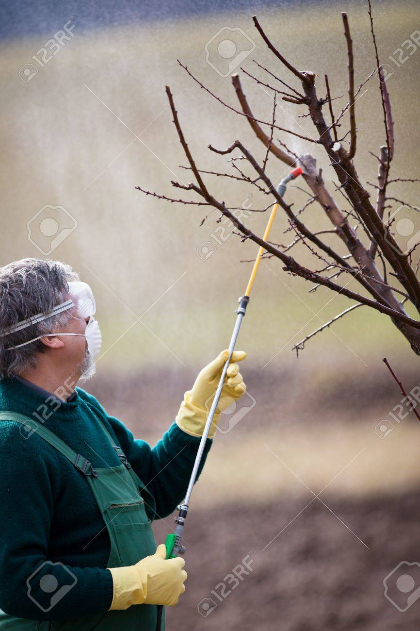 Using chemicals in the garden/orchard: gardener applying an insecticide/a fertilizer to his fruit shrubs, using a sprayer Stock Photo - 12987817