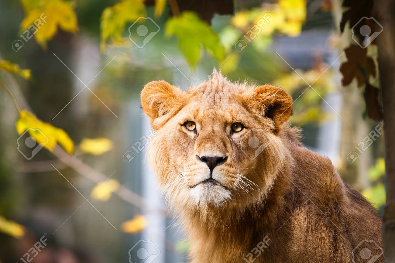 Close-up portrait of a majestic lioness (Panthera Leo) Stock Photo - 17662041