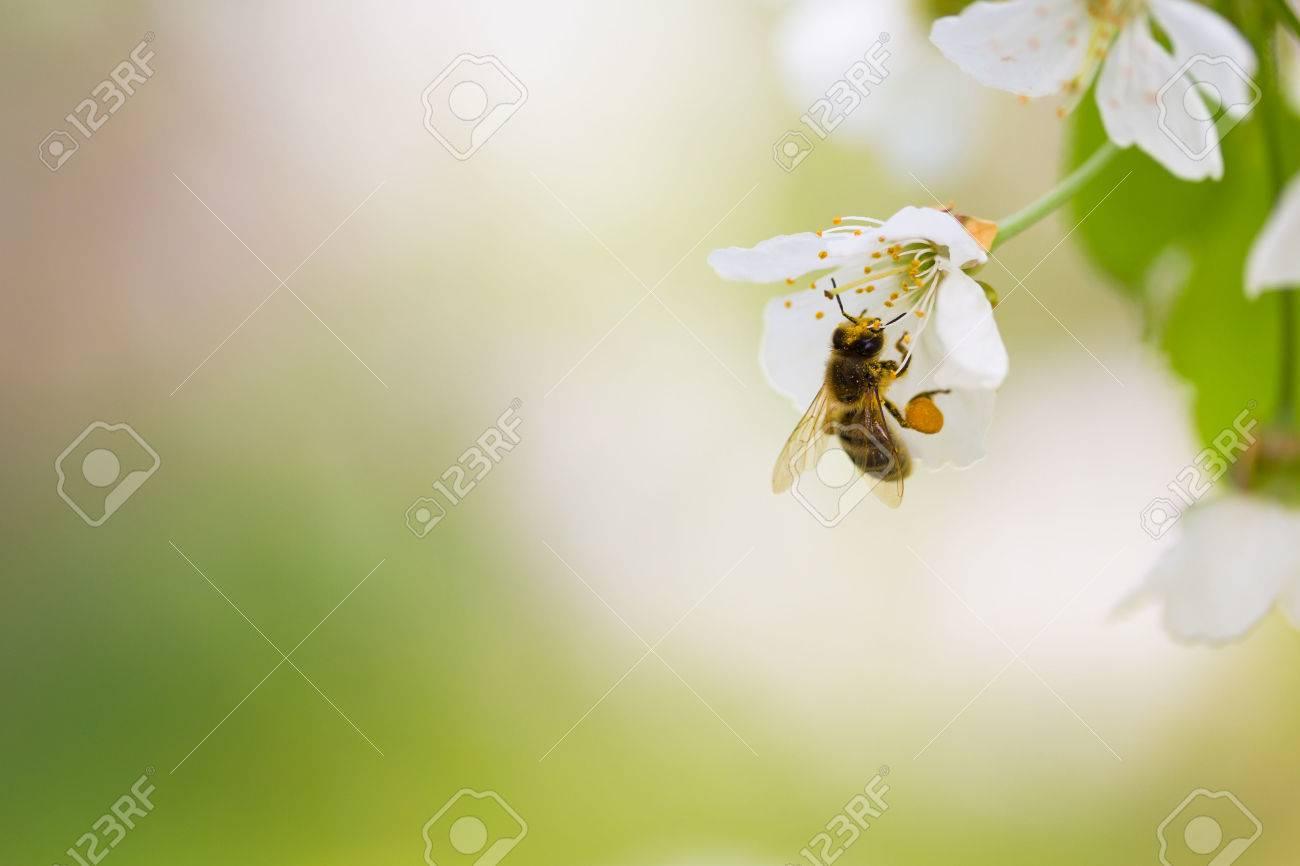 Honey bee enjoying blossoming cherry tree on a lovely spring day Standard-Bild - 37874262