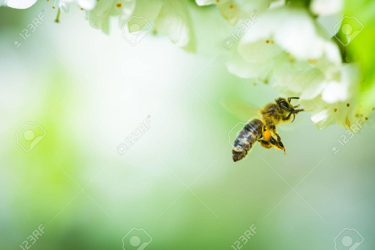 Honey bee in flight approaching blossoming cherry tree Standard-Bild - 40311479