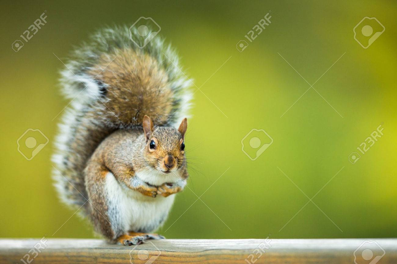 Eastern Grey Squirrel (Sciurus carolinensis) Banque d'images - 44927297
