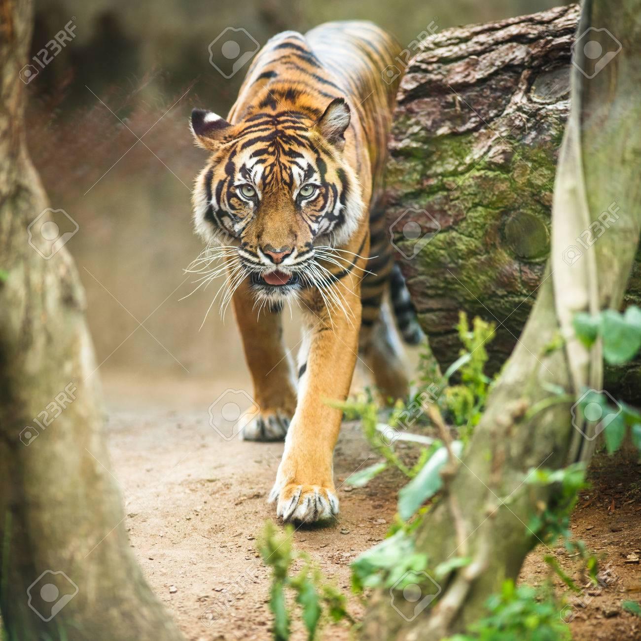 Closeup of a Siberian tiger also know as Amur tiger (Panthera tigris altaica), the largest living cat Standard-Bild - 46142085