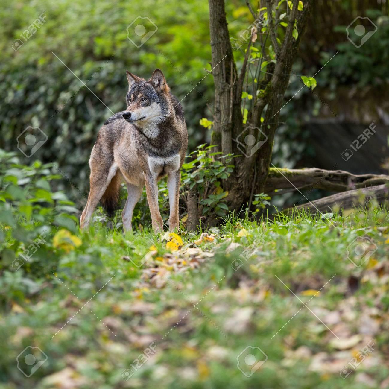 Gris / loup eurasienne (Canis lupus) Banque d'images - 49271739