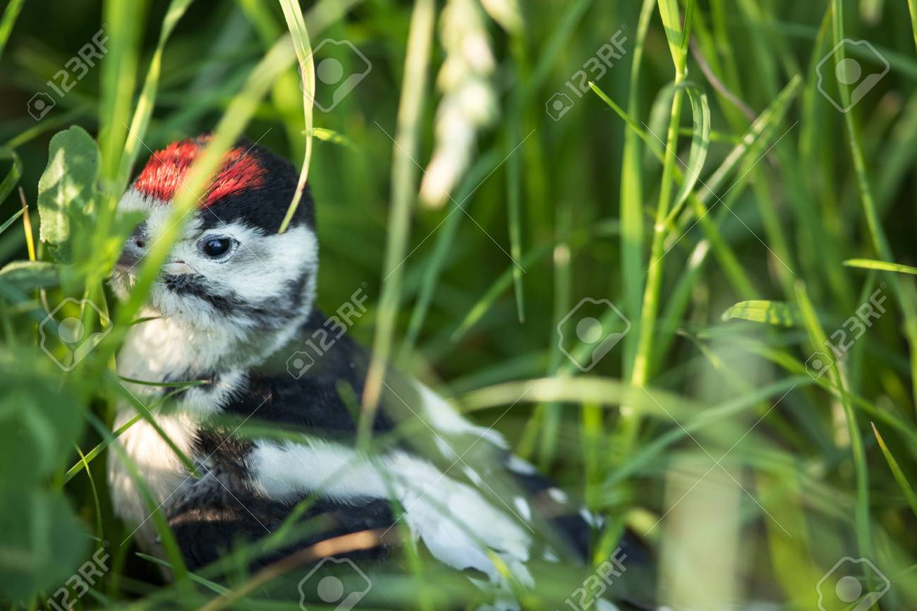 Junge Buntspecht Auf Dem Boden Direkt Nach Verlassen Des Nestes