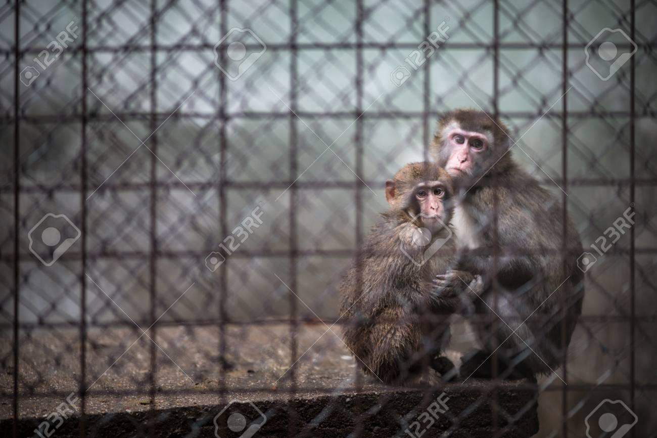Sad monkeys behind bars in captivity - 99596853