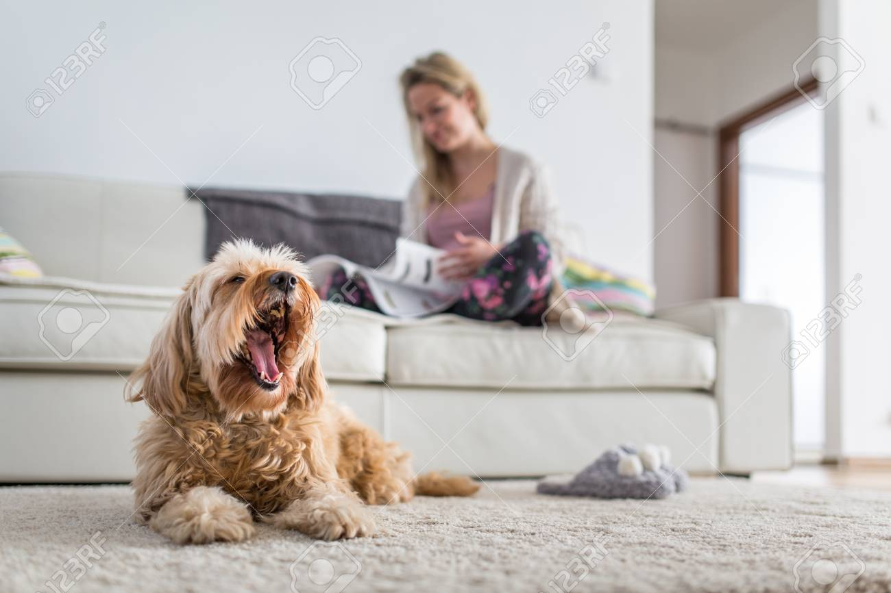 Dog in a modern , bright living room on carpet, a ted bored while his owner is busy working from home - 117809405