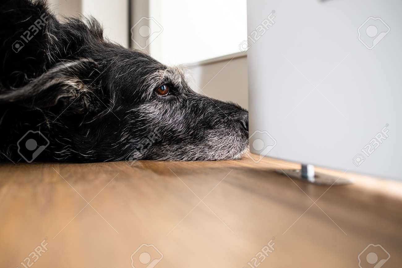 A sad looking dog is waiting for his master to stop working and take him for a walk. A large breed dog looks sad and lonely at home. - 169294142