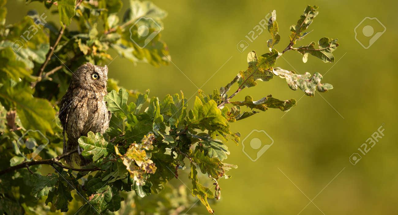 Eurasian scops owl (Otus scops) - Small scops owl on a branch in autumnal forest - 171623490