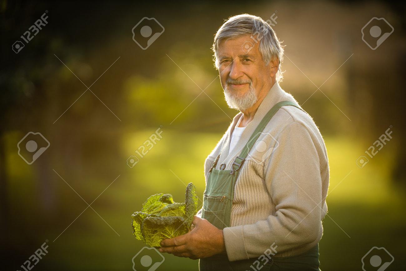 Senior gardener gardening in his permaculture garden - holding a splendid Savoy Cabbage head - 171623515