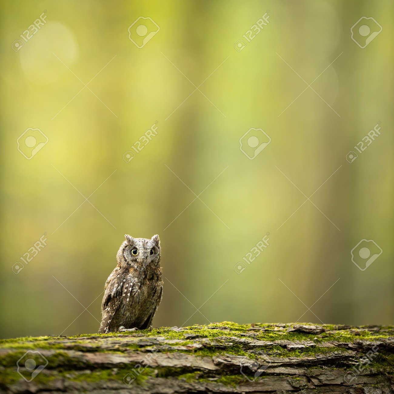 Eurasian scops owl (Otus scops) - Small scops owl on a branch in autumnal forest - 171623522