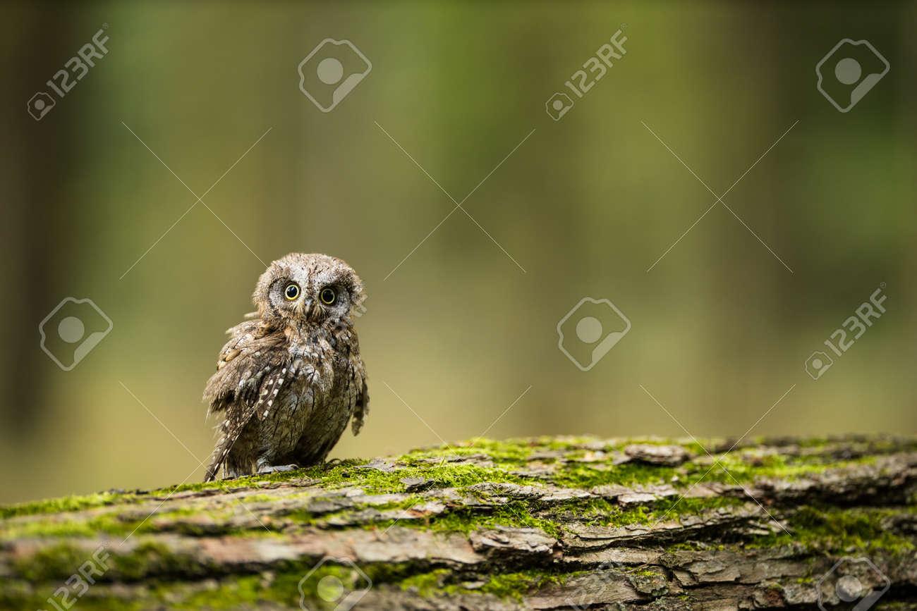 Eurasian scops owl (Otus scops) - Small scops owl on a branch in autumnal forest - 171623526