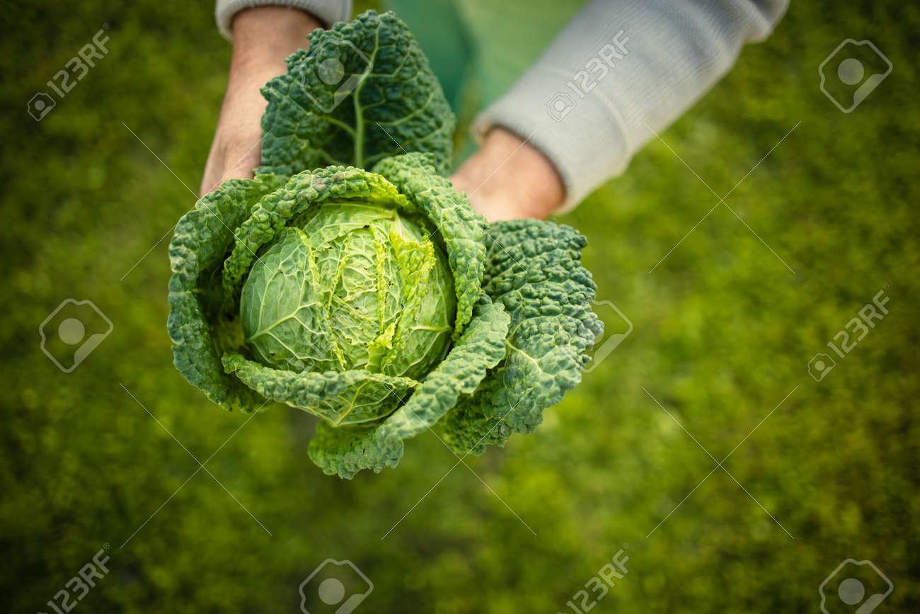 Senior gardener gardening in his permaculture garden - holding a splendid Savoy Cabbage head - 171623528