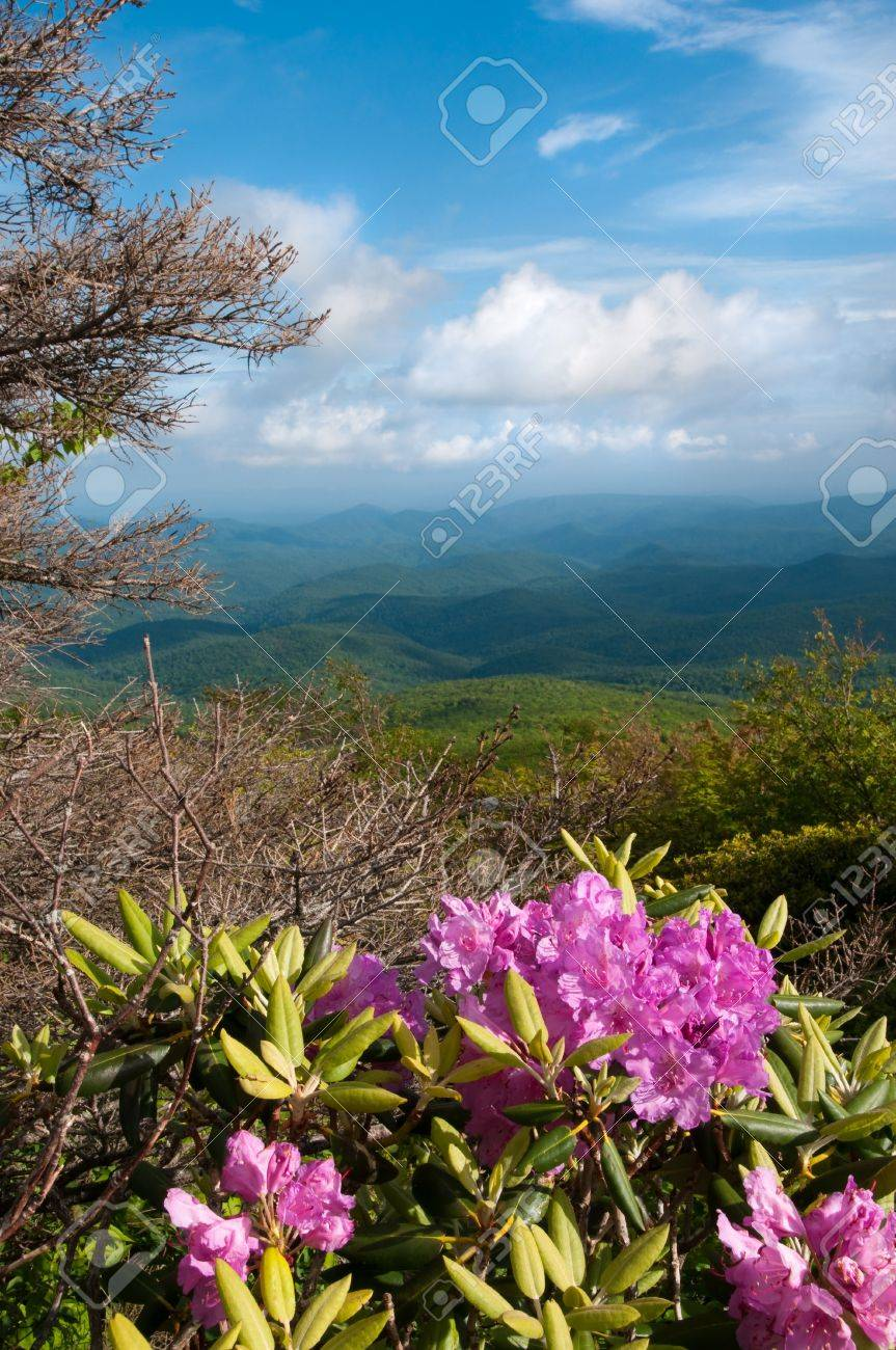 Beautiful view from the Blue Ridge Parkway showing the native Catawba Rhododendron in full bloom. Stock Photo - 7365580