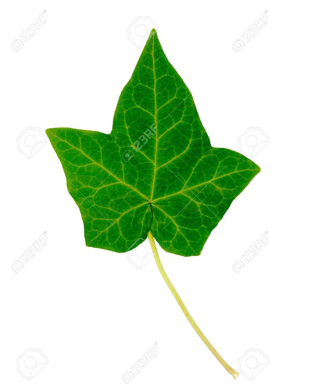 english ivy single leaf isolated on white stock photo picture and