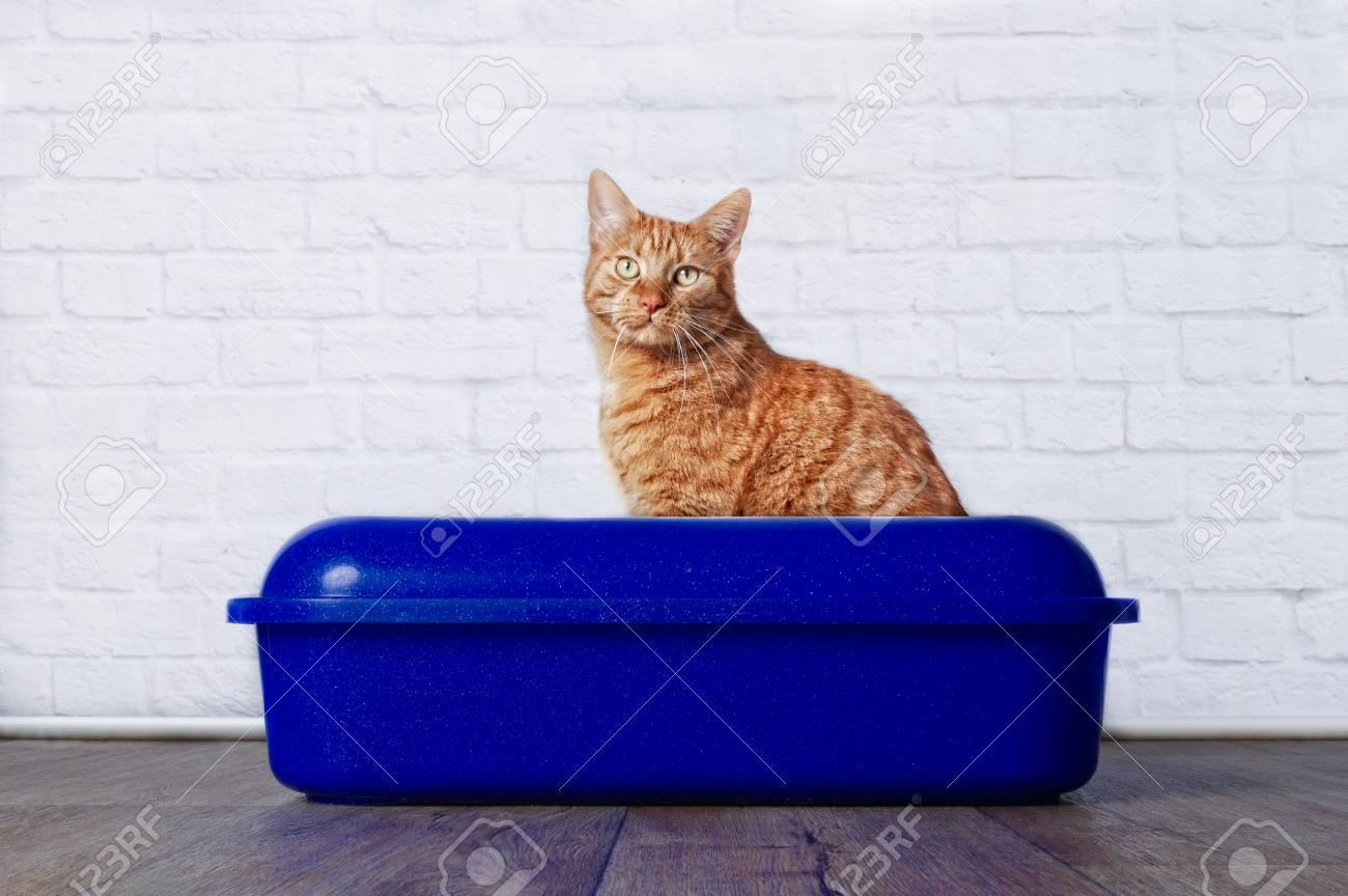 Ginger cat in blue plastic litter box - 90541415