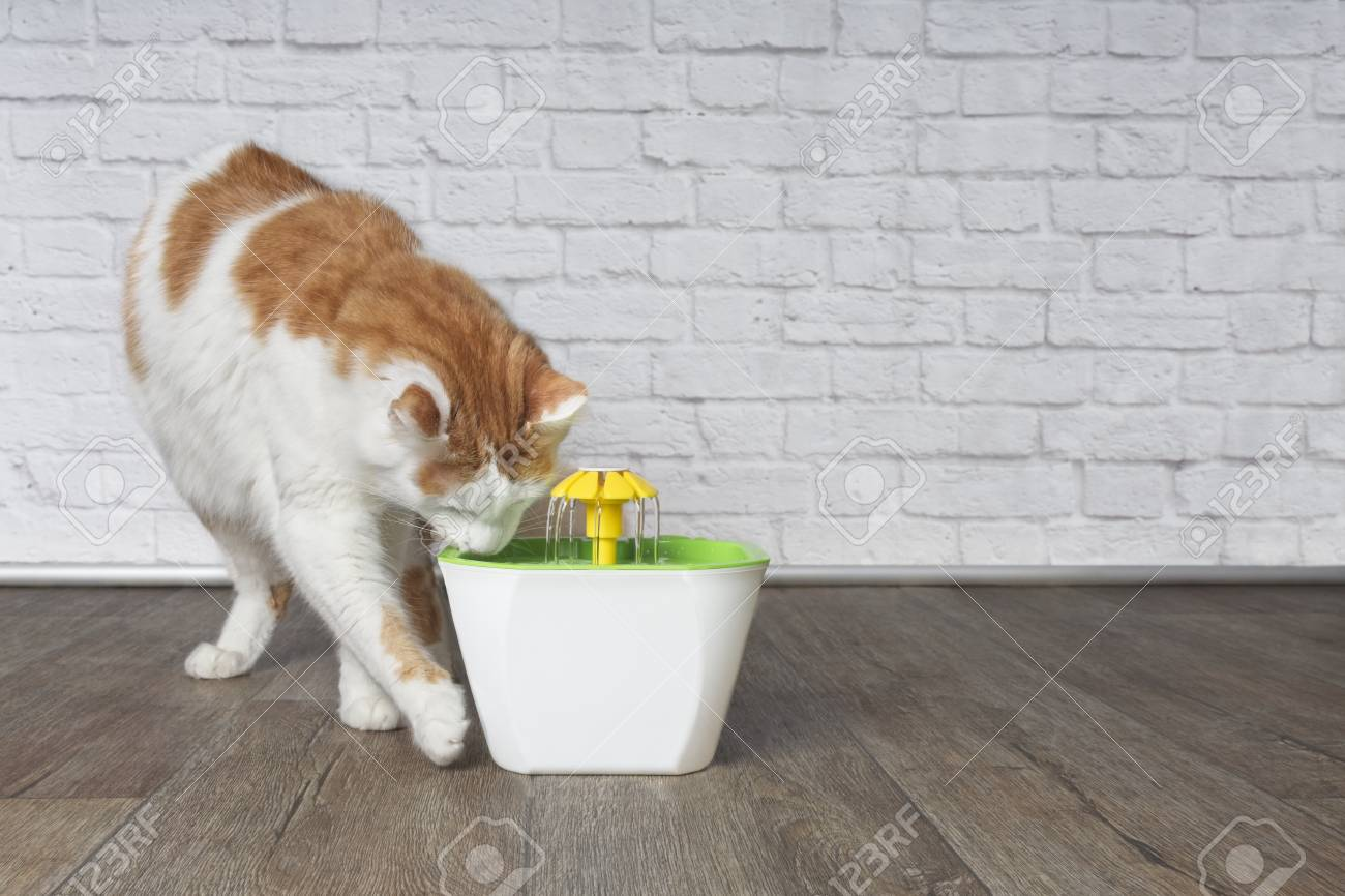Thirsty longhair cat looking curious to a pet drinking fountain. - 117301348