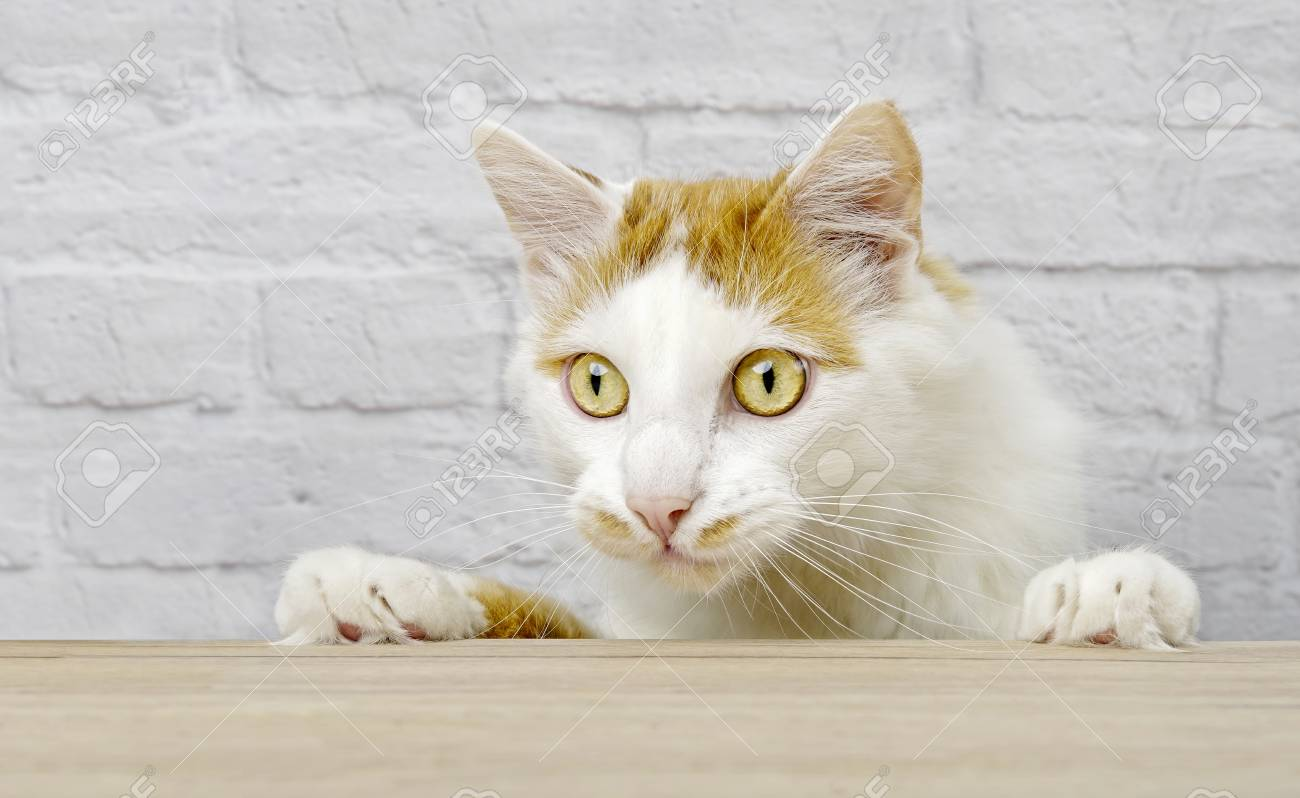 Cute tabby cat looking curious at the table. Horizontal image with copy space. - 126735515