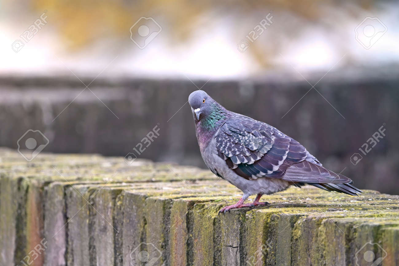 Pigeon bird sitting on a stone wall and looking at camera. - 163589323