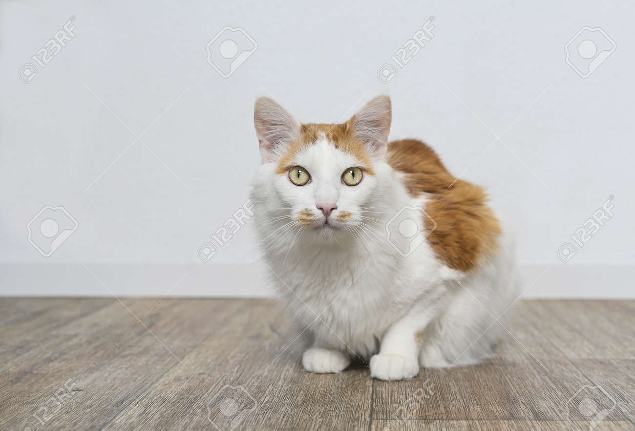 Cute longhair cat sitting on the floor and looking straight to the camera. - 164899944