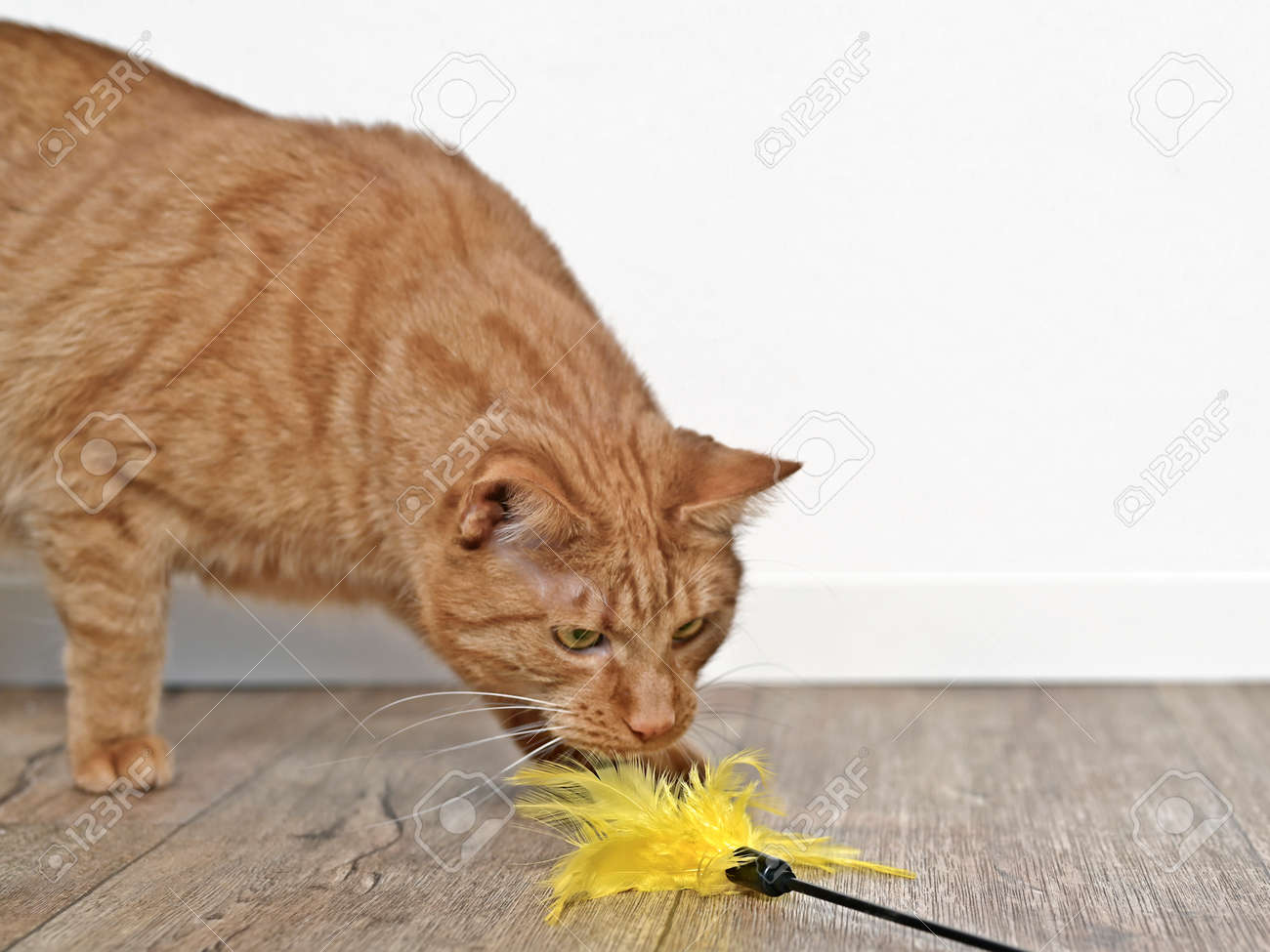 Cute ginger cat playing with a feather cat toy. - 164762512