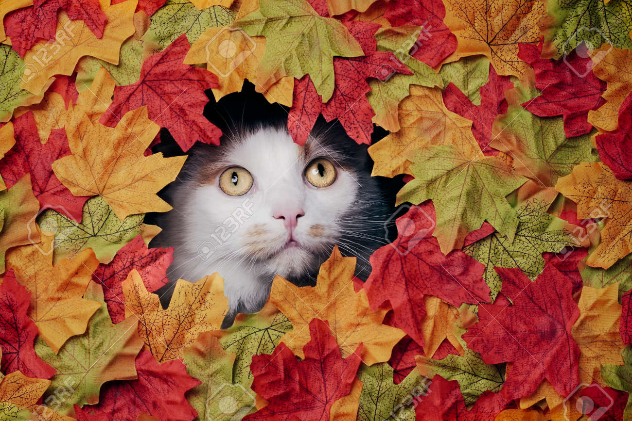 Cute tabby cat looking through a hole in the colorful autumn decoration. - 165396906