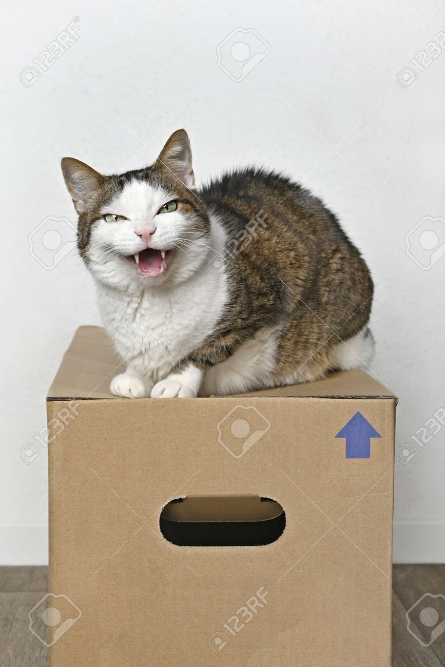 Angry tabby cat sitting on a cardboard box and looking to the camera. - 165592331