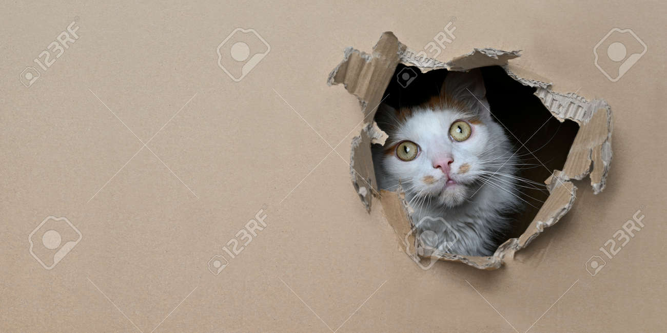 Funny tabby cat looking curious out of a hole in a cardboard box. Panoramic image with copy space. - 165832269