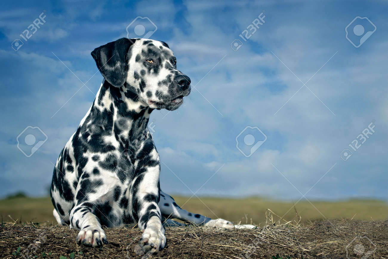 Dalmatian dog sits in the meadow against a blue sky. - 166713198