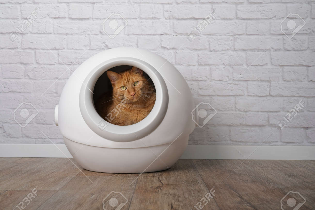 Cute ginger cat sitting in a self-cleaning litter box and looking at camera. - 168691062