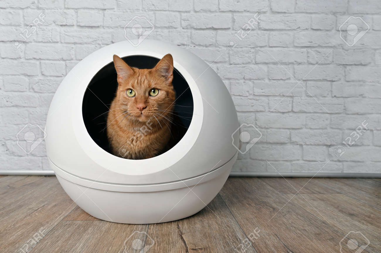 Cute red cat sitting in a self-cleaning litter box and looking away. - 168691064