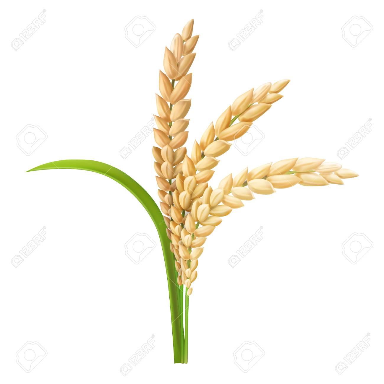 Rice ear realistic vector illustration - 90606509