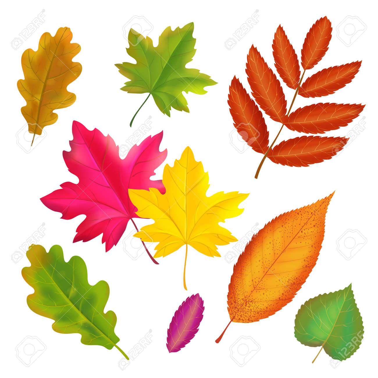 Set of colorful autumn leaves. Vector realistic fall leaf collection. Maple, oak, rowan yellow and red leaves illustration - 158006810