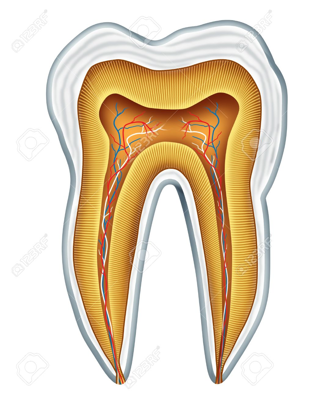 Tooth anatomy cross section for medical dental clinic and oral surgeon representing dentist medicine and dentistry surgery represented by a healthy cavity free frontal view showing the inside of the human skull body part. Stock Photo - 10976407