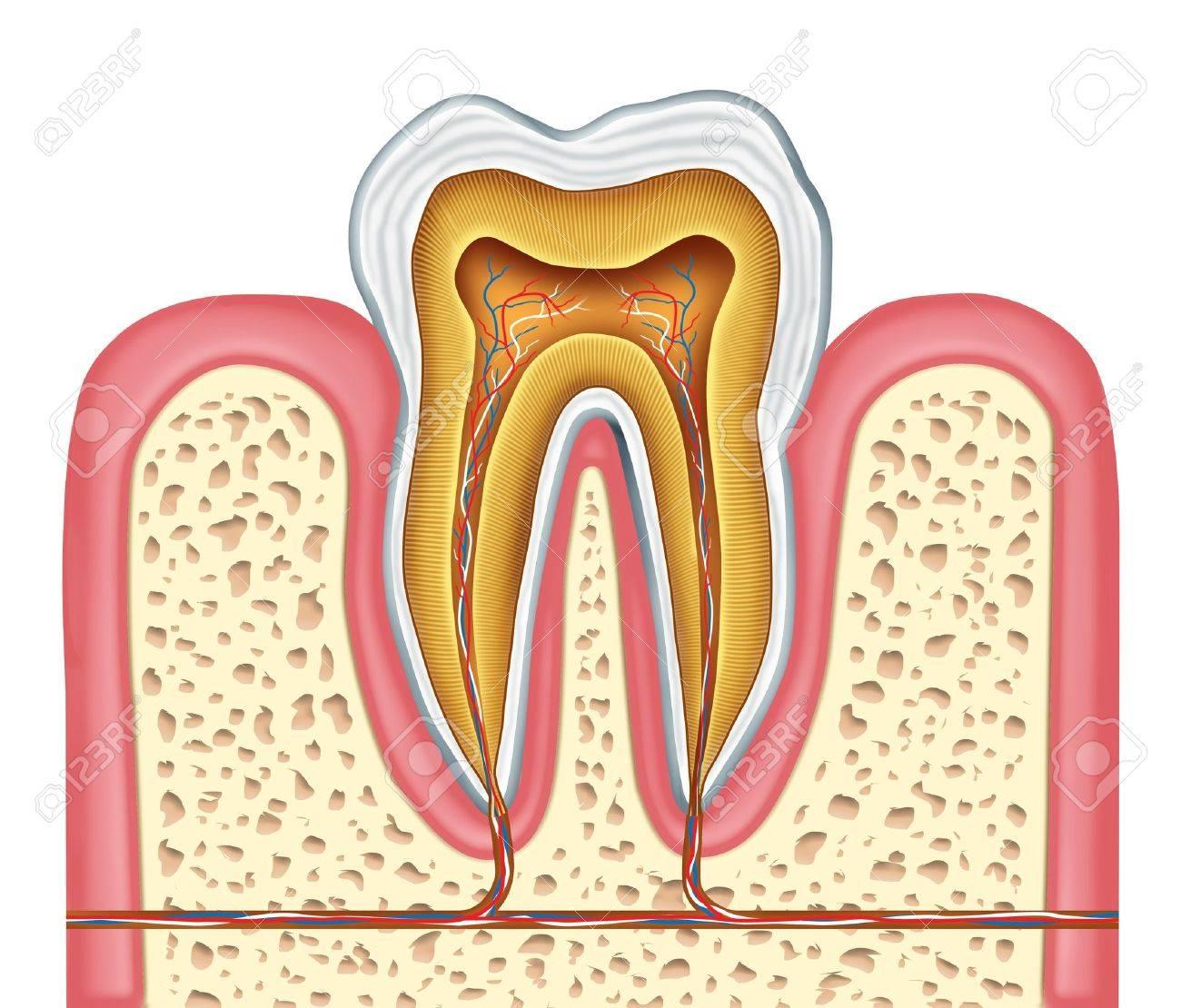 Anatomie Eines Gesunden Menschlichen Zahnes Diagramm Als Zahnarzt ...