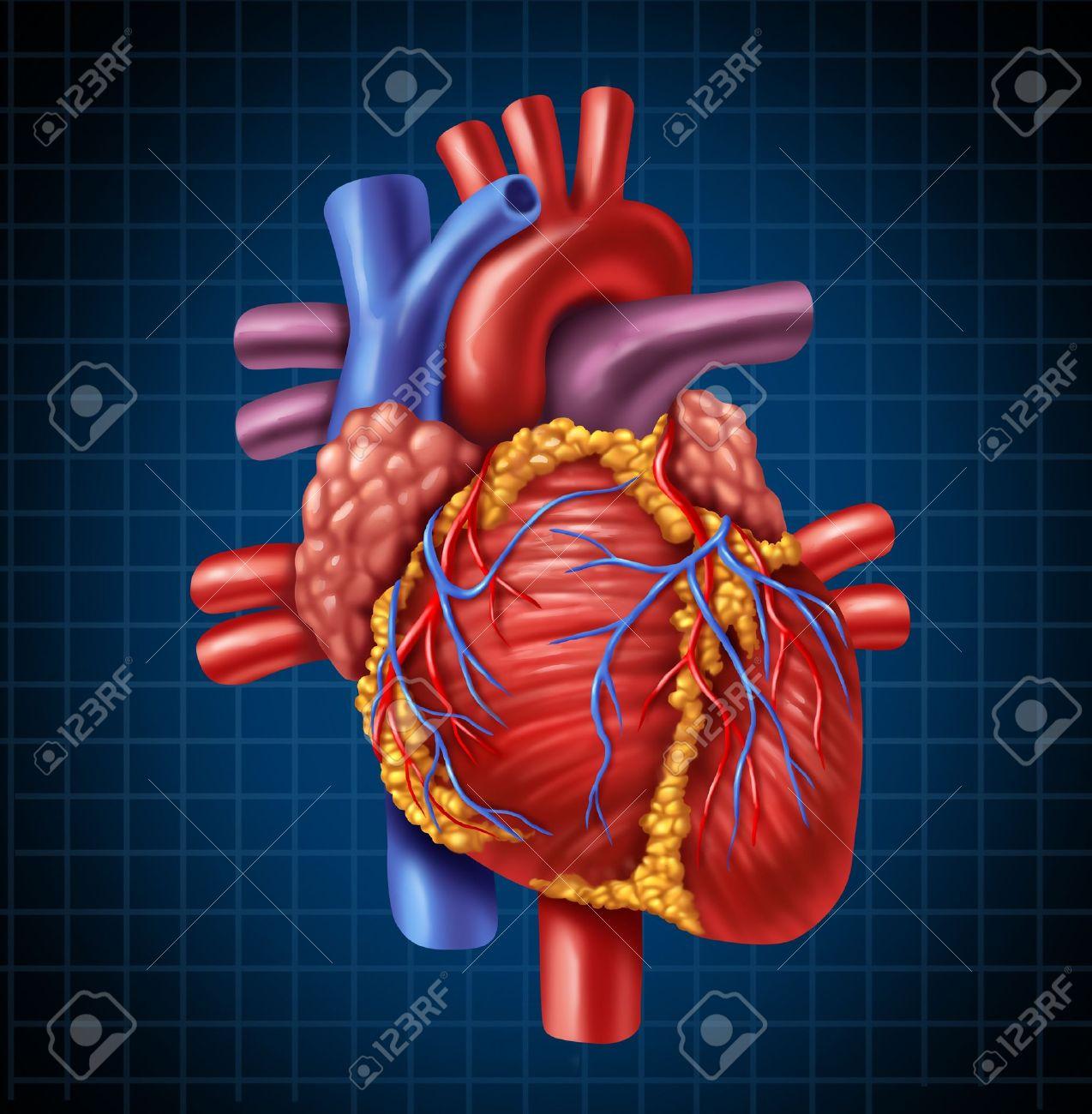 Menschliches Herz Anatomie Von Einem Gesunden Körper Auf Einem ...