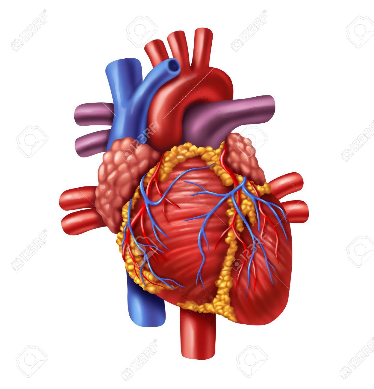 Menschliches Herz Anatomie Von Einem Gesunden Körper Auf Weißem ...