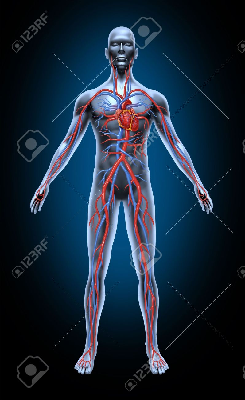Human Blood Circulation In The Cardiovascular System With Heart