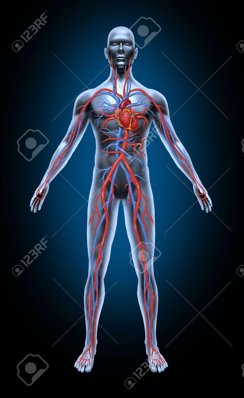 Menschlichen Blutkreislauf In Das Herz-Kreislaufsystem Mit Herz ...