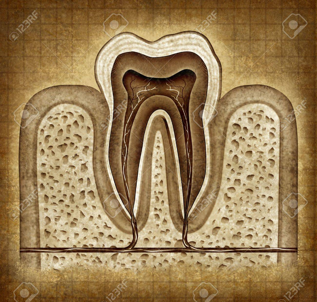 Tooth inner anatomy old grunge parchment diagram Stock Photo - 11995656