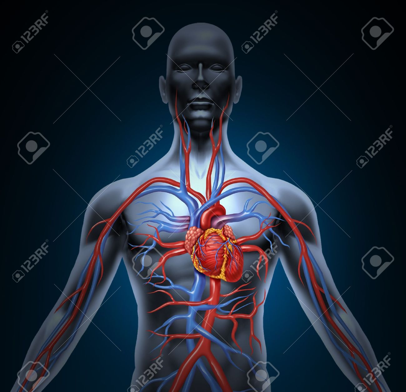 Human Circulation Cardiovascular System With Heart Anatomy From