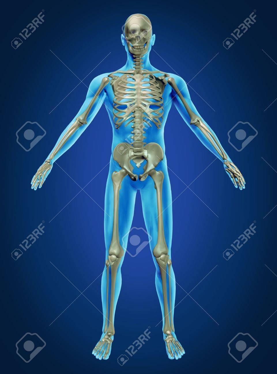 Der Menschliche Körper Und Skelett Mit Dem Skelett-Anatomie Im ...