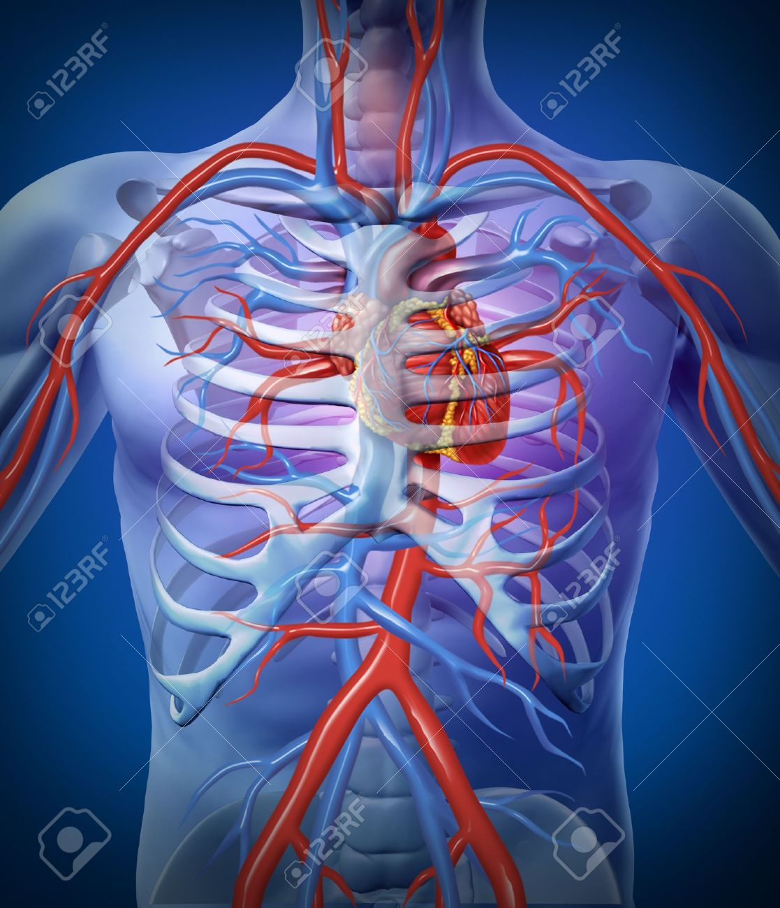 Human Heart Circulation In A Skeleton Cardiovascular System With