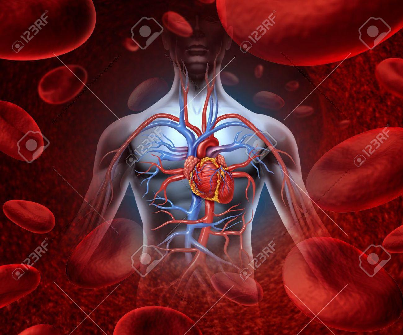 El Corazón Humano Sistema De La Circulación Cardiovascular Con La ...