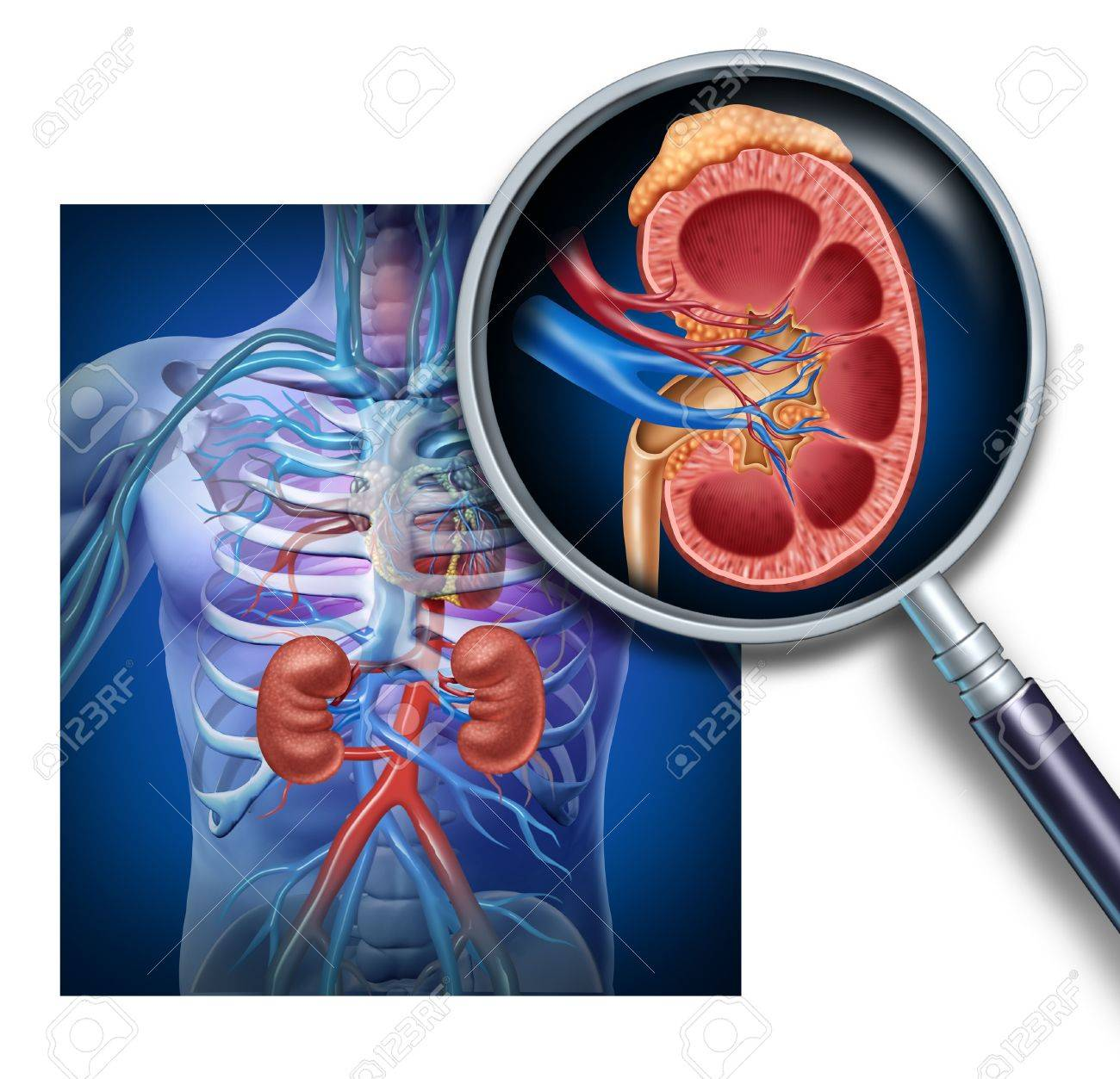 Human kidney magnification from a body as a medical diagram with human kidney magnification from a body as a medical diagram with a cross section of the ccuart Images