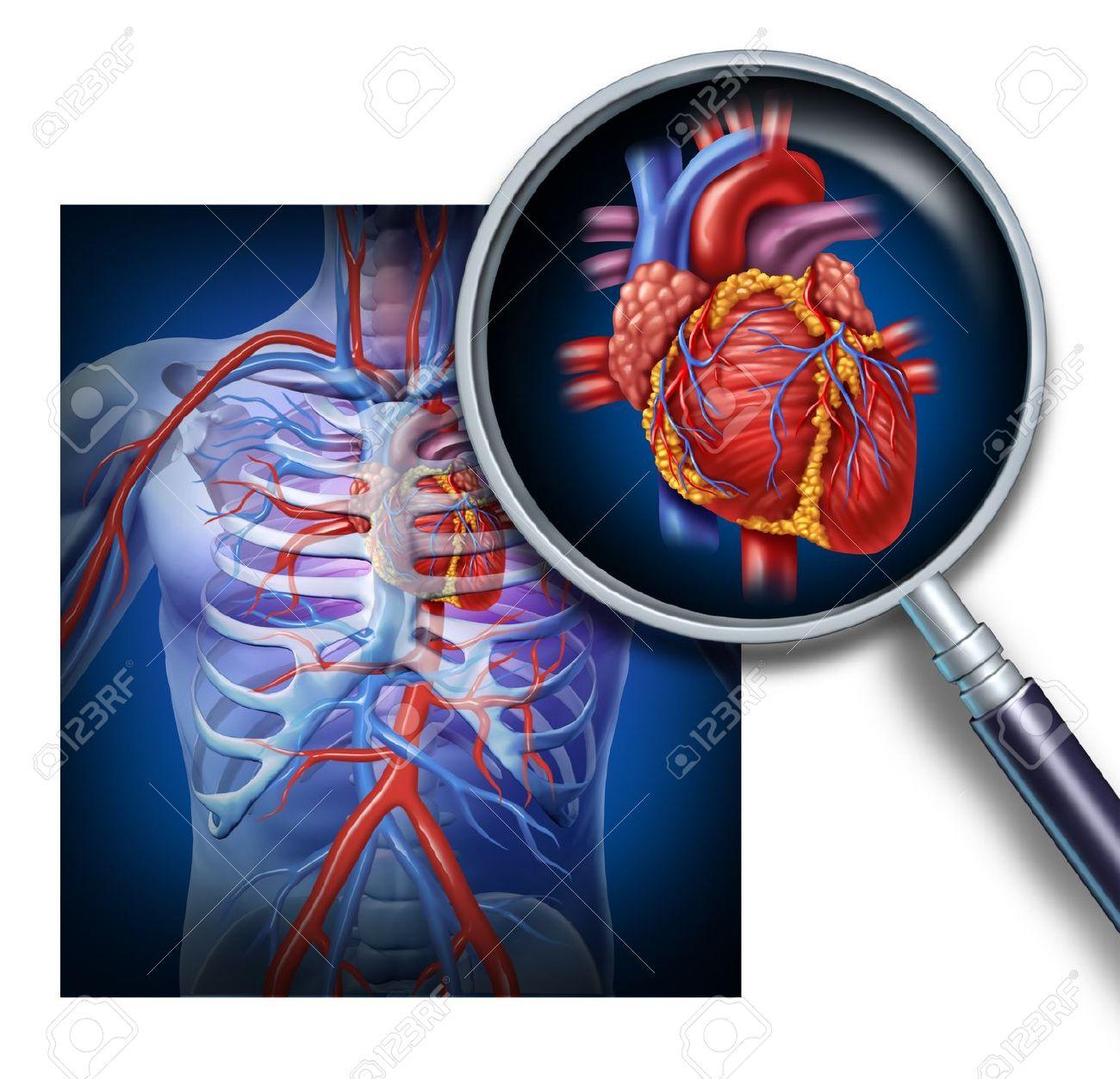 Anatomía Del Corazón Humano Como Un Enfoque Y La Ampliación De La ...