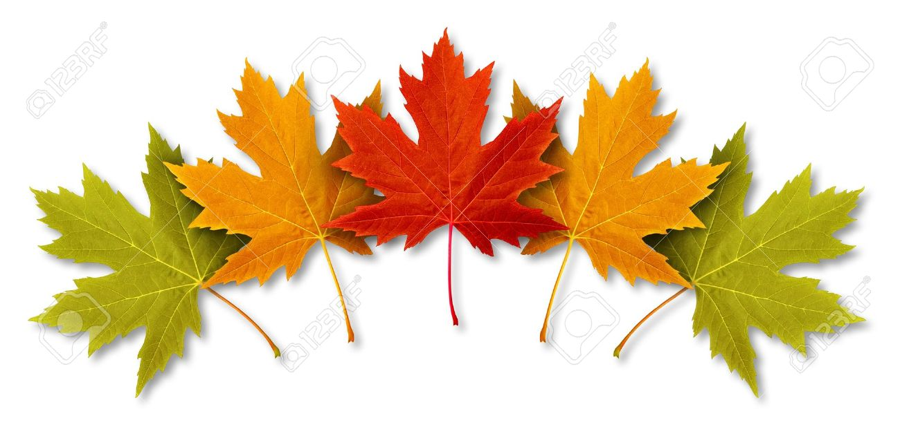 Autumn Leaves with five maple leaf foliage arranged in a multi colored seasonal themed concept as a symbol of the fall weather on a white background Stock Photo - 14837707
