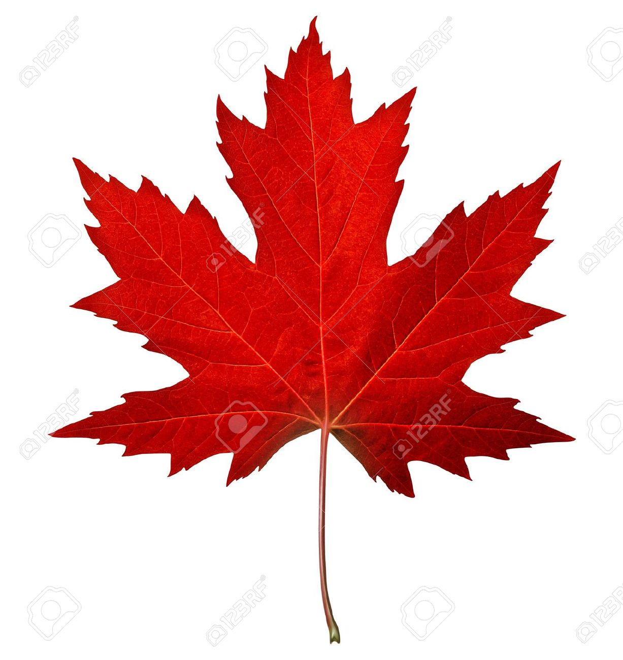 Red maple leaf as an autumn symbol as a seasonal themed concept red maple leaf as an autumn symbol as a seasonal themed concept as an icon of biocorpaavc Choice Image